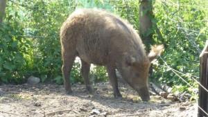 (15) Ungarisches Mangalitza-Schwein